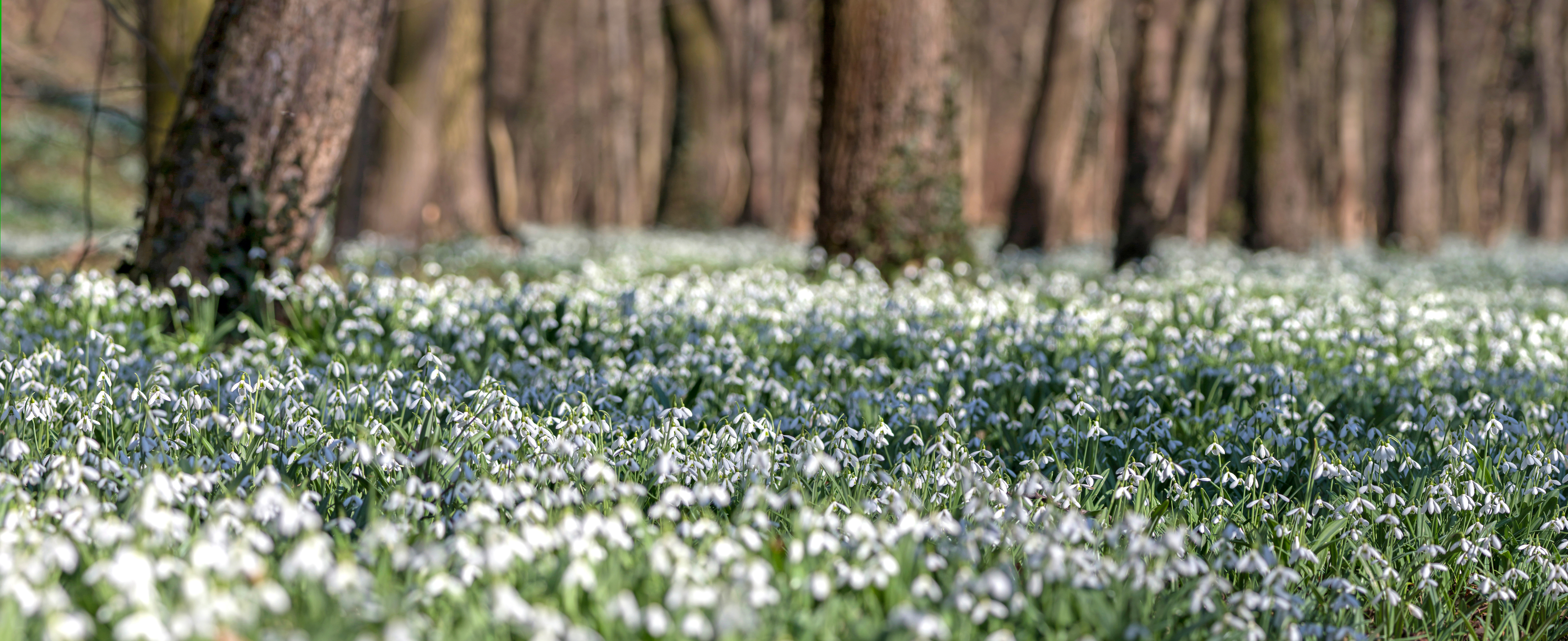 Snowdrops in woodland setting